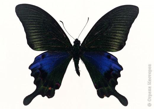 """По просьбам """"трудящихся"""" выкладываю фото настоящих бабочек. Может кого нибудь вдохновит на создания какого-нибудь шедевра. Включайте свою фантазию и творите - лепите и расписывайте ( как это сделала я), вышивайте, рисуйте и т.п.  Желаю всем удачи и творческого вдохновения! фото 2"""