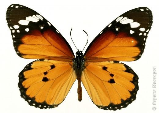 """По просьбам """"трудящихся"""" выкладываю фото настоящих бабочек. Может кого нибудь вдохновит на создания какого-нибудь шедевра. Включайте свою фантазию и творите - лепите и расписывайте ( как это сделала я), вышивайте, рисуйте и т.п.  Желаю всем удачи и творческого вдохновения! фото 3"""