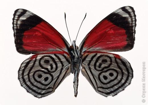 """По просьбам """"трудящихся"""" выкладываю фото настоящих бабочек. Может кого нибудь вдохновит на создания какого-нибудь шедевра. Включайте свою фантазию и творите - лепите и расписывайте ( как это сделала я), вышивайте, рисуйте и т.п.  Желаю всем удачи и творческого вдохновения! фото 4"""