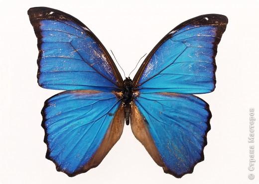 """По просьбам """"трудящихся"""" выкладываю фото настоящих бабочек. Может кого нибудь вдохновит на создания какого-нибудь шедевра. Включайте свою фантазию и творите - лепите и расписывайте ( как это сделала я), вышивайте, рисуйте и т.п.  Желаю всем удачи и творческого вдохновения! фото 5"""