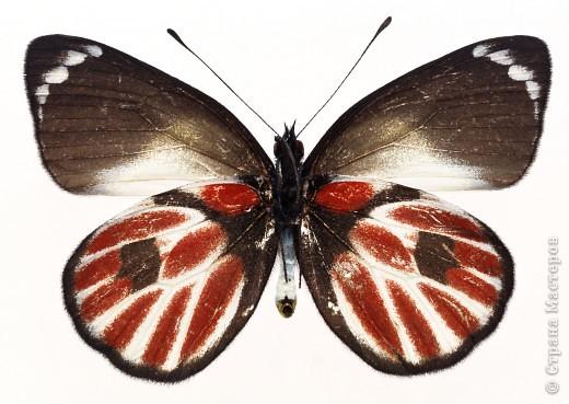 """По просьбам """"трудящихся"""" выкладываю фото настоящих бабочек. Может кого нибудь вдохновит на создания какого-нибудь шедевра. Включайте свою фантазию и творите - лепите и расписывайте ( как это сделала я), вышивайте, рисуйте и т.п.  Желаю всем удачи и творческого вдохновения! фото 6"""