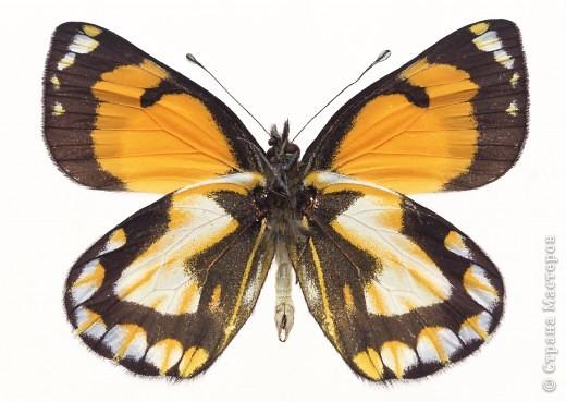 """По просьбам """"трудящихся"""" выкладываю фото настоящих бабочек. Может кого нибудь вдохновит на создания какого-нибудь шедевра. Включайте свою фантазию и творите - лепите и расписывайте ( как это сделала я), вышивайте, рисуйте и т.п.  Желаю всем удачи и творческого вдохновения! фото 7"""