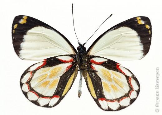 """По просьбам """"трудящихся"""" выкладываю фото настоящих бабочек. Может кого нибудь вдохновит на создания какого-нибудь шедевра. Включайте свою фантазию и творите - лепите и расписывайте ( как это сделала я), вышивайте, рисуйте и т.п.  Желаю всем удачи и творческого вдохновения! фото 8"""