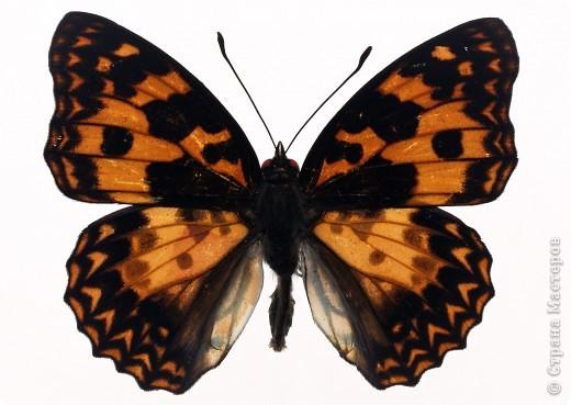 """По просьбам """"трудящихся"""" выкладываю фото настоящих бабочек. Может кого нибудь вдохновит на создания какого-нибудь шедевра. Включайте свою фантазию и творите - лепите и расписывайте ( как это сделала я), вышивайте, рисуйте и т.п.  Желаю всем удачи и творческого вдохновения! фото 9"""