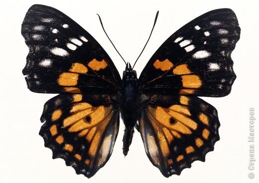 """По просьбам """"трудящихся"""" выкладываю фото настоящих бабочек. Может кого нибудь вдохновит на создания какого-нибудь шедевра. Включайте свою фантазию и творите - лепите и расписывайте ( как это сделала я), вышивайте, рисуйте и т.п.  Желаю всем удачи и творческого вдохновения! фото 10"""