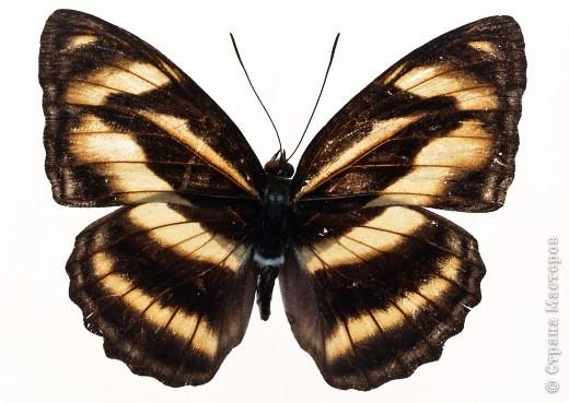 """По просьбам """"трудящихся"""" выкладываю фото настоящих бабочек. Может кого нибудь вдохновит на создания какого-нибудь шедевра. Включайте свою фантазию и творите - лепите и расписывайте ( как это сделала я), вышивайте, рисуйте и т.п.  Желаю всем удачи и творческого вдохновения! фото 11"""