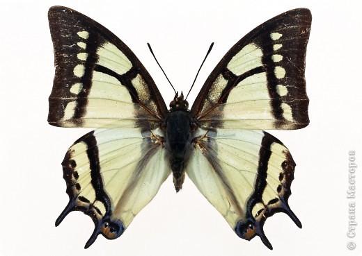 """По просьбам """"трудящихся"""" выкладываю фото настоящих бабочек. Может кого нибудь вдохновит на создания какого-нибудь шедевра. Включайте свою фантазию и творите - лепите и расписывайте ( как это сделала я), вышивайте, рисуйте и т.п.  Желаю всем удачи и творческого вдохновения! фото 12"""