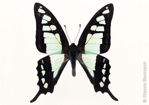 """По просьбам """"трудящихся"""" выкладываю фото настоящих бабочек. Может кого нибудь вдохновит на создания какого-нибудь шедевра. Включайте свою фантазию и творите - лепите и расписывайте ( как это сделала я), вышивайте, рисуйте и т.п.  Желаю всем удачи и творческого вдохновения! фото 13"""