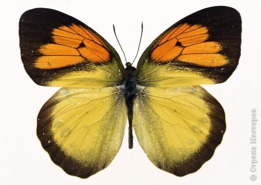"""По просьбам """"трудящихся"""" выкладываю фото настоящих бабочек. Может кого нибудь вдохновит на создания какого-нибудь шедевра. Включайте свою фантазию и творите - лепите и расписывайте ( как это сделала я), вышивайте, рисуйте и т.п.  Желаю всем удачи и творческого вдохновения! фото 14"""