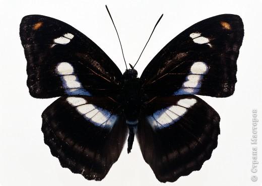 """По просьбам """"трудящихся"""" выкладываю фото настоящих бабочек. Может кого нибудь вдохновит на создания какого-нибудь шедевра. Включайте свою фантазию и творите - лепите и расписывайте ( как это сделала я), вышивайте, рисуйте и т.п.  Желаю всем удачи и творческого вдохновения! фото 15"""