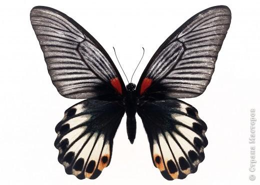 """По просьбам """"трудящихся"""" выкладываю фото настоящих бабочек. Может кого нибудь вдохновит на создания какого-нибудь шедевра. Включайте свою фантазию и творите - лепите и расписывайте ( как это сделала я), вышивайте, рисуйте и т.п.  Желаю всем удачи и творческого вдохновения! фото 16"""