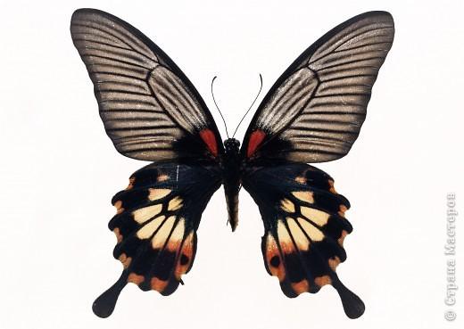 """По просьбам """"трудящихся"""" выкладываю фото настоящих бабочек. Может кого нибудь вдохновит на создания какого-нибудь шедевра. Включайте свою фантазию и творите - лепите и расписывайте ( как это сделала я), вышивайте, рисуйте и т.п.  Желаю всем удачи и творческого вдохновения! фото 17"""