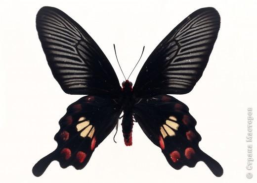 """По просьбам """"трудящихся"""" выкладываю фото настоящих бабочек. Может кого нибудь вдохновит на создания какого-нибудь шедевра. Включайте свою фантазию и творите - лепите и расписывайте ( как это сделала я), вышивайте, рисуйте и т.п.  Желаю всем удачи и творческого вдохновения! фото 18"""