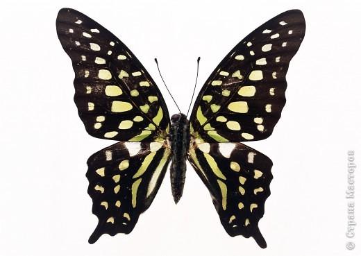 """По просьбам """"трудящихся"""" выкладываю фото настоящих бабочек. Может кого нибудь вдохновит на создания какого-нибудь шедевра. Включайте свою фантазию и творите - лепите и расписывайте ( как это сделала я), вышивайте, рисуйте и т.п.  Желаю всем удачи и творческого вдохновения! фото 19"""