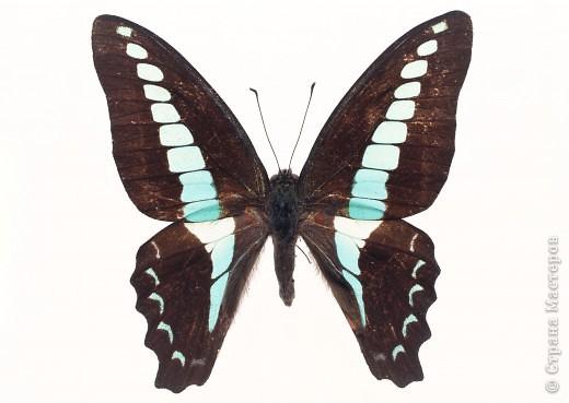 """По просьбам """"трудящихся"""" выкладываю фото настоящих бабочек. Может кого нибудь вдохновит на создания какого-нибудь шедевра. Включайте свою фантазию и творите - лепите и расписывайте ( как это сделала я), вышивайте, рисуйте и т.п.  Желаю всем удачи и творческого вдохновения! фото 20"""