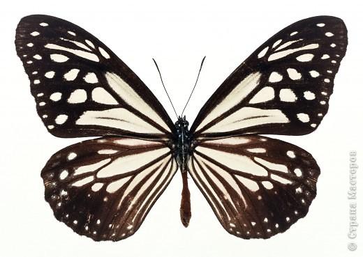 """По просьбам """"трудящихся"""" выкладываю фото настоящих бабочек. Может кого нибудь вдохновит на создания какого-нибудь шедевра. Включайте свою фантазию и творите - лепите и расписывайте ( как это сделала я), вышивайте, рисуйте и т.п.  Желаю всем удачи и творческого вдохновения! фото 21"""