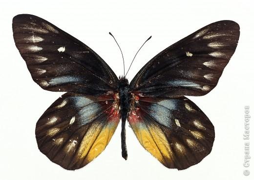 """По просьбам """"трудящихся"""" выкладываю фото настоящих бабочек. Может кого нибудь вдохновит на создания какого-нибудь шедевра. Включайте свою фантазию и творите - лепите и расписывайте ( как это сделала я), вышивайте, рисуйте и т.п.  Желаю всем удачи и творческого вдохновения! фото 22"""