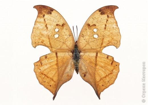"""По просьбам """"трудящихся"""" выкладываю фото настоящих бабочек. Может кого нибудь вдохновит на создания какого-нибудь шедевра. Включайте свою фантазию и творите - лепите и расписывайте ( как это сделала я), вышивайте, рисуйте и т.п.  Желаю всем удачи и творческого вдохновения! фото 23"""