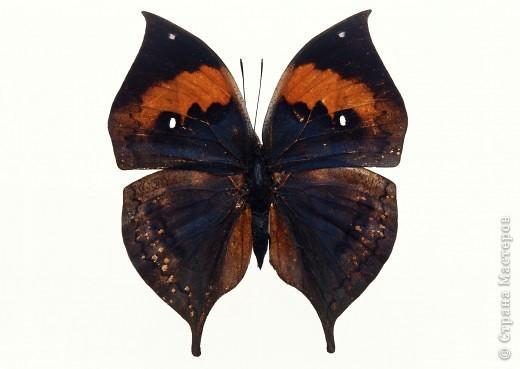 """По просьбам """"трудящихся"""" выкладываю фото настоящих бабочек. Может кого нибудь вдохновит на создания какого-нибудь шедевра. Включайте свою фантазию и творите - лепите и расписывайте ( как это сделала я), вышивайте, рисуйте и т.п.  Желаю всем удачи и творческого вдохновения! фото 24"""