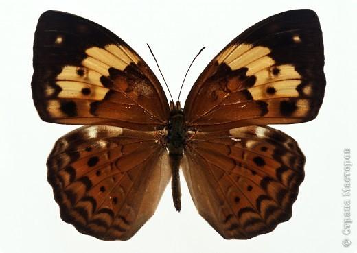 """По просьбам """"трудящихся"""" выкладываю фото настоящих бабочек. Может кого нибудь вдохновит на создания какого-нибудь шедевра. Включайте свою фантазию и творите - лепите и расписывайте ( как это сделала я), вышивайте, рисуйте и т.п.  Желаю всем удачи и творческого вдохновения! фото 25"""