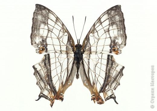 """По просьбам """"трудящихся"""" выкладываю фото настоящих бабочек. Может кого нибудь вдохновит на создания какого-нибудь шедевра. Включайте свою фантазию и творите - лепите и расписывайте ( как это сделала я), вышивайте, рисуйте и т.п.  Желаю всем удачи и творческого вдохновения! фото 26"""