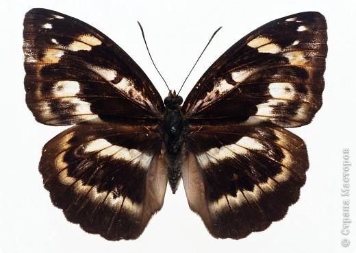 """По просьбам """"трудящихся"""" выкладываю фото настоящих бабочек. Может кого нибудь вдохновит на создания какого-нибудь шедевра. Включайте свою фантазию и творите - лепите и расписывайте ( как это сделала я), вышивайте, рисуйте и т.п.  Желаю всем удачи и творческого вдохновения! фото 28"""