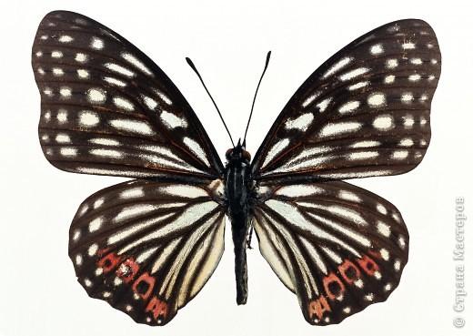 """По просьбам """"трудящихся"""" выкладываю фото настоящих бабочек. Может кого нибудь вдохновит на создания какого-нибудь шедевра. Включайте свою фантазию и творите - лепите и расписывайте ( как это сделала я), вышивайте, рисуйте и т.п.  Желаю всем удачи и творческого вдохновения! фото 29"""