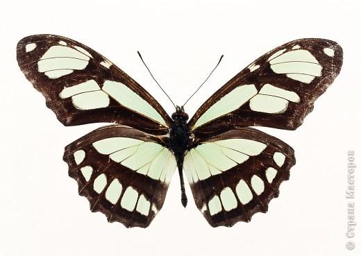 """По просьбам """"трудящихся"""" выкладываю фото настоящих бабочек. Может кого нибудь вдохновит на создания какого-нибудь шедевра. Включайте свою фантазию и творите - лепите и расписывайте ( как это сделала я), вышивайте, рисуйте и т.п.  Желаю всем удачи и творческого вдохновения! фото 30"""