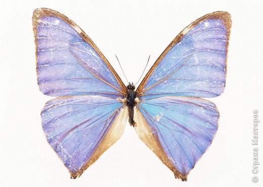 """По просьбам """"трудящихся"""" выкладываю фото настоящих бабочек. Может кого нибудь вдохновит на создания какого-нибудь шедевра. Включайте свою фантазию и творите - лепите и расписывайте ( как это сделала я), вышивайте, рисуйте и т.п.  Желаю всем удачи и творческого вдохновения! фото 31"""
