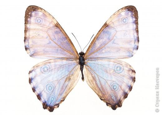 """По просьбам """"трудящихся"""" выкладываю фото настоящих бабочек. Может кого нибудь вдохновит на создания какого-нибудь шедевра. Включайте свою фантазию и творите - лепите и расписывайте ( как это сделала я), вышивайте, рисуйте и т.п.  Желаю всем удачи и творческого вдохновения! фото 32"""