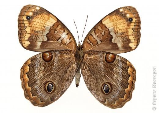 """По просьбам """"трудящихся"""" выкладываю фото настоящих бабочек. Может кого нибудь вдохновит на создания какого-нибудь шедевра. Включайте свою фантазию и творите - лепите и расписывайте ( как это сделала я), вышивайте, рисуйте и т.п.  Желаю всем удачи и творческого вдохновения! фото 33"""