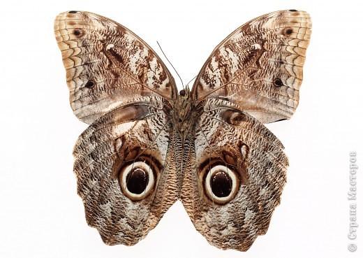 """По просьбам """"трудящихся"""" выкладываю фото настоящих бабочек. Может кого нибудь вдохновит на создания какого-нибудь шедевра. Включайте свою фантазию и творите - лепите и расписывайте ( как это сделала я), вышивайте, рисуйте и т.п.  Желаю всем удачи и творческого вдохновения! фото 34"""