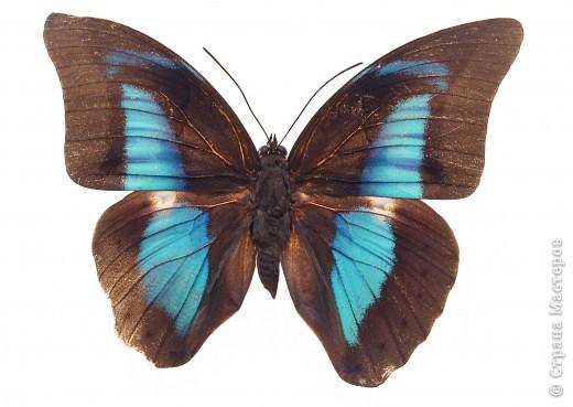 """По просьбам """"трудящихся"""" выкладываю фото настоящих бабочек. Может кого нибудь вдохновит на создания какого-нибудь шедевра. Включайте свою фантазию и творите - лепите и расписывайте ( как это сделала я), вышивайте, рисуйте и т.п.  Желаю всем удачи и творческого вдохновения! фото 35"""