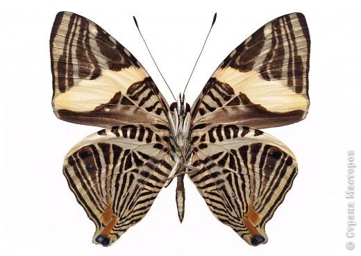 """По просьбам """"трудящихся"""" выкладываю фото настоящих бабочек. Может кого нибудь вдохновит на создания какого-нибудь шедевра. Включайте свою фантазию и творите - лепите и расписывайте ( как это сделала я), вышивайте, рисуйте и т.п.  Желаю всем удачи и творческого вдохновения! фото 37"""