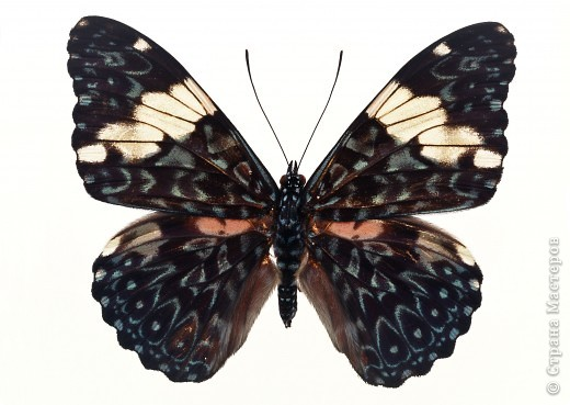 """По просьбам """"трудящихся"""" выкладываю фото настоящих бабочек. Может кого нибудь вдохновит на создания какого-нибудь шедевра. Включайте свою фантазию и творите - лепите и расписывайте ( как это сделала я), вышивайте, рисуйте и т.п.  Желаю всем удачи и творческого вдохновения! фото 38"""