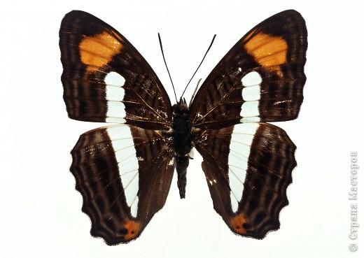 """По просьбам """"трудящихся"""" выкладываю фото настоящих бабочек. Может кого нибудь вдохновит на создания какого-нибудь шедевра. Включайте свою фантазию и творите - лепите и расписывайте ( как это сделала я), вышивайте, рисуйте и т.п.  Желаю всем удачи и творческого вдохновения! фото 39"""