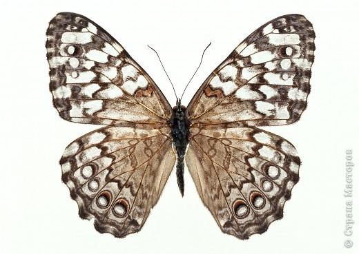 """По просьбам """"трудящихся"""" выкладываю фото настоящих бабочек. Может кого нибудь вдохновит на создания какого-нибудь шедевра. Включайте свою фантазию и творите - лепите и расписывайте ( как это сделала я), вышивайте, рисуйте и т.п.  Желаю всем удачи и творческого вдохновения! фото 40"""