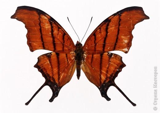 """По просьбам """"трудящихся"""" выкладываю фото настоящих бабочек. Может кого нибудь вдохновит на создания какого-нибудь шедевра. Включайте свою фантазию и творите - лепите и расписывайте ( как это сделала я), вышивайте, рисуйте и т.п.  Желаю всем удачи и творческого вдохновения! фото 41"""