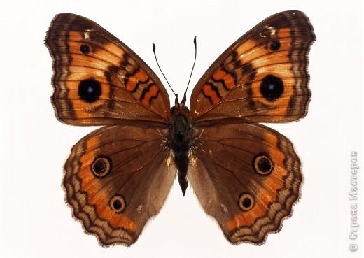 """По просьбам """"трудящихся"""" выкладываю фото настоящих бабочек. Может кого нибудь вдохновит на создания какого-нибудь шедевра. Включайте свою фантазию и творите - лепите и расписывайте ( как это сделала я), вышивайте, рисуйте и т.п.  Желаю всем удачи и творческого вдохновения! фото 42"""
