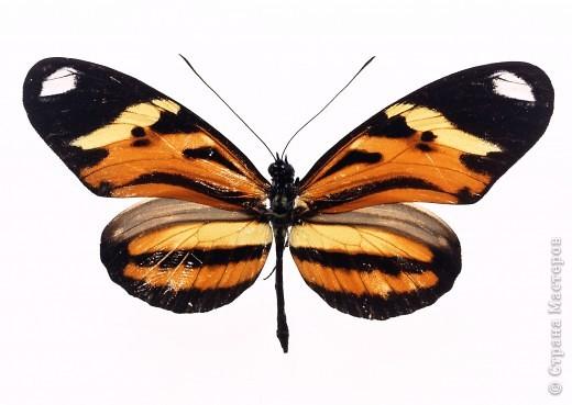 """По просьбам """"трудящихся"""" выкладываю фото настоящих бабочек. Может кого нибудь вдохновит на создания какого-нибудь шедевра. Включайте свою фантазию и творите - лепите и расписывайте ( как это сделала я), вышивайте, рисуйте и т.п.  Желаю всем удачи и творческого вдохновения! фото 43"""