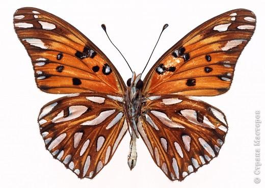 """По просьбам """"трудящихся"""" выкладываю фото настоящих бабочек. Может кого нибудь вдохновит на создания какого-нибудь шедевра. Включайте свою фантазию и творите - лепите и расписывайте ( как это сделала я), вышивайте, рисуйте и т.п.  Желаю всем удачи и творческого вдохновения! фото 44"""