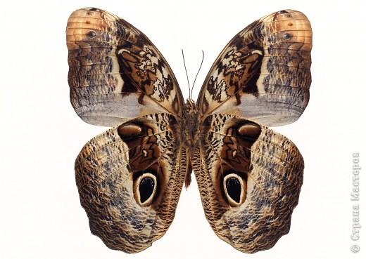 """По просьбам """"трудящихся"""" выкладываю фото настоящих бабочек. Может кого нибудь вдохновит на создания какого-нибудь шедевра. Включайте свою фантазию и творите - лепите и расписывайте ( как это сделала я), вышивайте, рисуйте и т.п.  Желаю всем удачи и творческого вдохновения! фото 45"""