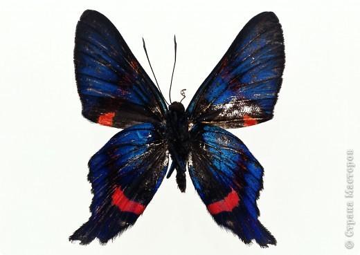 """По просьбам """"трудящихся"""" выкладываю фото настоящих бабочек. Может кого нибудь вдохновит на создания какого-нибудь шедевра. Включайте свою фантазию и творите - лепите и расписывайте ( как это сделала я), вышивайте, рисуйте и т.п.  Желаю всем удачи и творческого вдохновения! фото 46"""