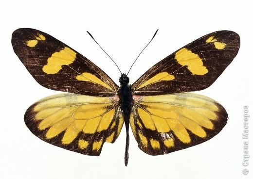 """По просьбам """"трудящихся"""" выкладываю фото настоящих бабочек. Может кого нибудь вдохновит на создания какого-нибудь шедевра. Включайте свою фантазию и творите - лепите и расписывайте ( как это сделала я), вышивайте, рисуйте и т.п.  Желаю всем удачи и творческого вдохновения! фото 47"""