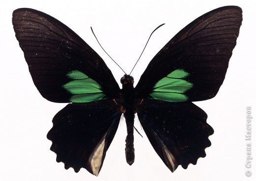 """По просьбам """"трудящихся"""" выкладываю фото настоящих бабочек. Может кого нибудь вдохновит на создания какого-нибудь шедевра. Включайте свою фантазию и творите - лепите и расписывайте ( как это сделала я), вышивайте, рисуйте и т.п.  Желаю всем удачи и творческого вдохновения! фото 48"""