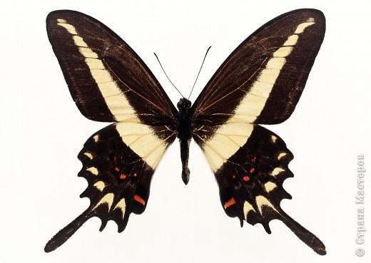 """По просьбам """"трудящихся"""" выкладываю фото настоящих бабочек. Может кого нибудь вдохновит на создания какого-нибудь шедевра. Включайте свою фантазию и творите - лепите и расписывайте ( как это сделала я), вышивайте, рисуйте и т.п.  Желаю всем удачи и творческого вдохновения! фото 49"""