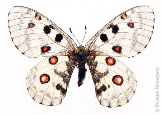 """По просьбам """"трудящихся"""" выкладываю фото настоящих бабочек. Может кого нибудь вдохновит на создания какого-нибудь шедевра. Включайте свою фантазию и творите - лепите и расписывайте ( как это сделала я), вышивайте, рисуйте и т.п.  Желаю всем удачи и творческого вдохновения! фото 50"""