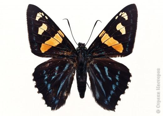 """По просьбам """"трудящихся"""" выкладываю фото настоящих бабочек. Может кого нибудь вдохновит на создания какого-нибудь шедевра. Включайте свою фантазию и творите - лепите и расписывайте ( как это сделала я), вышивайте, рисуйте и т.п.  Желаю всем удачи и творческого вдохновения! фото 51"""