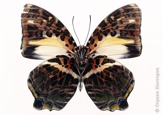 """По просьбам """"трудящихся"""" выкладываю фото настоящих бабочек. Может кого нибудь вдохновит на создания какого-нибудь шедевра. Включайте свою фантазию и творите - лепите и расписывайте ( как это сделала я), вышивайте, рисуйте и т.п.  Желаю всем удачи и творческого вдохновения! фото 52"""