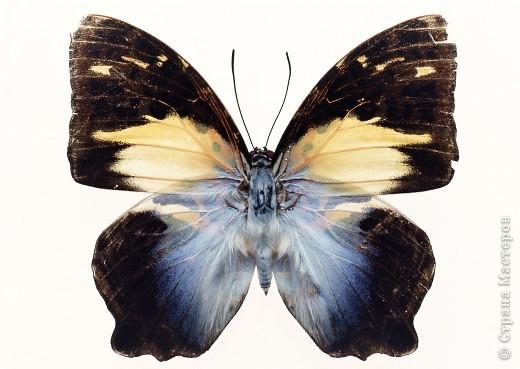"""По просьбам """"трудящихся"""" выкладываю фото настоящих бабочек. Может кого нибудь вдохновит на создания какого-нибудь шедевра. Включайте свою фантазию и творите - лепите и расписывайте ( как это сделала я), вышивайте, рисуйте и т.п.  Желаю всем удачи и творческого вдохновения! фото 53"""